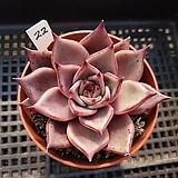 레드에보니22|Echeveria agavoides ebony red
