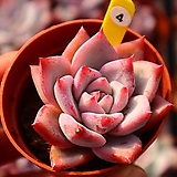 콜로라타아이스 041029|Echeveria colorata