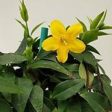 [진아플라워] 노오란 봄꽃  개나리 자스민 목대  240|