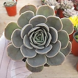 블루서프라이즈   02986|Echeveria Blue Surprise