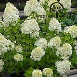 목수국 라임라이트 (분달이묘) - 정원 조경 나무 묘목 화분 (세종식물원) 