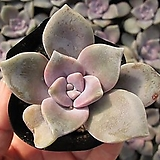 퍼플딜라이트랜덤|Graptopetalum Purple Delight