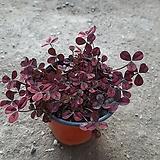 와인크로바사랑초|