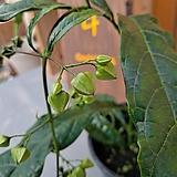 [고급식물] 나비시다래 (색이 푸릇푸릇한 아이)|