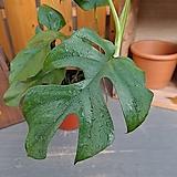 히메몬스테라 (잎장이 공주같이 이쁜아이)|