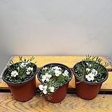 콤푸레시아사랑초(노랑겹) 잎도특이해요