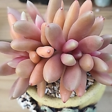 군작묵은자연한몸|Pachyphytum hookeri