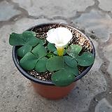 푸푸레야흰색사랑초|