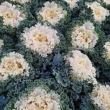 꽃배추 B002 아이보리색|