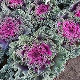 꽃배추 B003 보라색|
