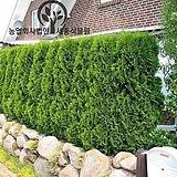 미측백 플러그묘(H 40cm전후) - 조경수 정원수 울타리 나무 묘목 포트 