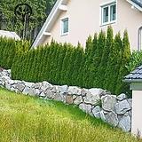 에메랄드그린 분달이 2종(H 70cm / H 1m) - 조경수 정원수 울타리 나무 묘목 