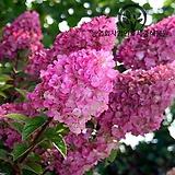 네덜란드 신품종 목수국 8종 특선 - 정원 조경 카페조경 나무 수국 묘목 화분 