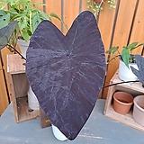 콜로카시아 블랙매직 (잎장이 크고 이쁜아이)|
