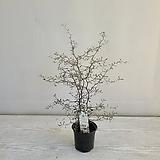 마오리코로키아/공기정화식물/반려식물/온누리 꽃농원|