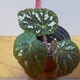 베고니아푸세우도롱키실리아타517-67(밀폐 