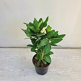 대왕꽃기린 노랑/공기정화식물/온누리 꽃농원|