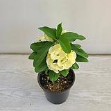 대왕꽃기린 흰색/공기정화식물/온누리 꽃농원|