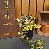 황금송악-6(동일품발송,묵은둥이)|variegated