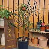 [동일품발송]부티아야자나무/부티아 카피타타(Butia capitata)|