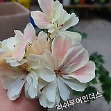 해피쏘웃 핑크,제라늄CA1739-랜덤발송