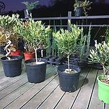 올리브 나무 4종 모음 - 공기정화 반려식물 카페인테리어 나무 묘목 