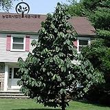 포포나무 실생묘(H 150cm전후) - 유실수 베란다텃밭 정원수 조경 나무 묘목 