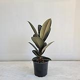 흑고무나무/공기정화식물/반려식물/온누리 꽃농원|