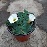 흰색사랑초|