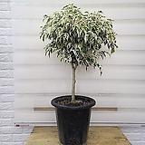 [용플라워]핫도그 스트라이트 벤자민 공기정화식물|