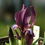 게이비붓꽃 
