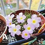 폴리필라 헵타필라 사랑초/벚꽃희|