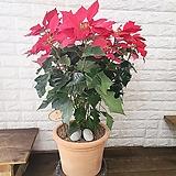 [용플라워]크리스마스꽃 포인세티아 완제품(이태리토분)|Echeveria Agavoides Christmas