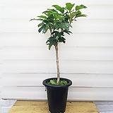 [용플라워] 인기상품 황칠나무|
