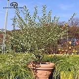 무늬쥐똥나무(7치 포트) - 쥐똥나무 신품종 분재 울타리 나무 묘목 