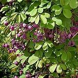 슈퍼대실으름(9cm 포트) - 유실수 모종 조경 정원 가꾸기 