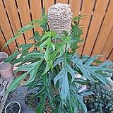 [고급식물] 에피프레넘 피나텀 그린 대형|