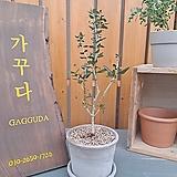 [완성품]올리브나무|