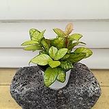 [용플라워] 키우기 쉬운 실내공기정화식물 골드산호수|