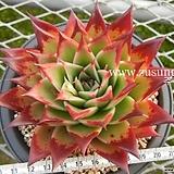 블랙로즈 스탠더드 자구(대) - 주성농원  (Echeveria Black Rose Standard, offset) 
