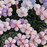 옥살리스 -목사랑초