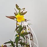 [진아플라워] 노오란 꽃이 피는  개나리 자스민 169|