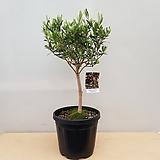 [진아플라워] 자연주의  명품수형 올리브나무  1200|
