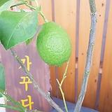 왕 레몬나무 (열매가 탐스러운 아이)|