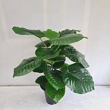 휘카스움베르타/공기정화식물/온누리 꽃농원|
