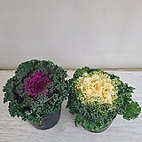 꽃배추/색상랜덤/공기정화식물/온누리 꽃농원|