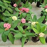 꽃기린왕꽃 004번 신상품10개꽃대|