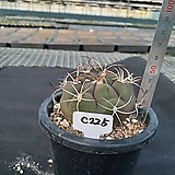 C-225. 천자환 Gymnocalycium pflanzii var albipuipa|