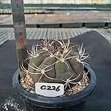 C-226. 천자환 Gymnocalycium pflanzii var albipuipa|