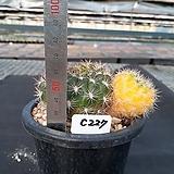 C-227. 네오쿠밍기금 Weingartia neocumingii var. variegata|variegated